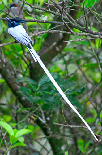 Asian Paradise Flycatcher, Sinharaja Forest