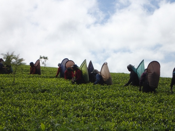 Tea Pluckers plucking tea in hill country estate