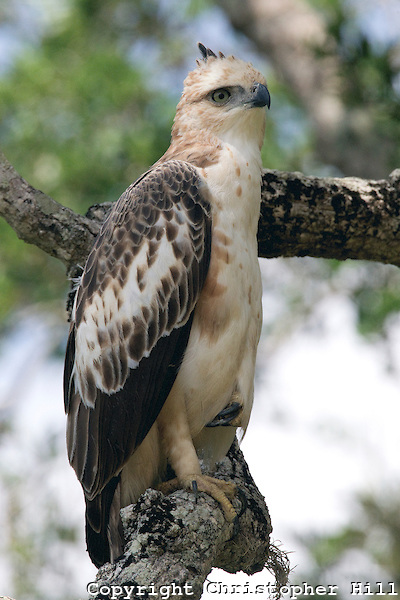 Changeable Hawk Eagle (Yala NP, Sri Lanka) (Christopher Hill)