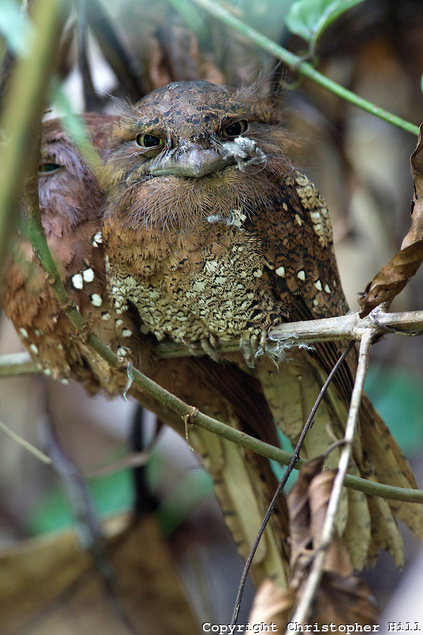 Sri Lankan Frogmouth (Sri Lanka) (Christopher Hill)