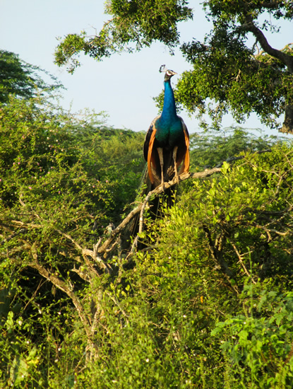 Peafowl at Bundala
