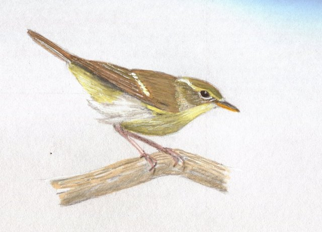 Bright_Green_Warbler_-a_bright_individual-.jpg