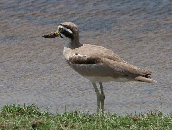 Greater Thick-knee