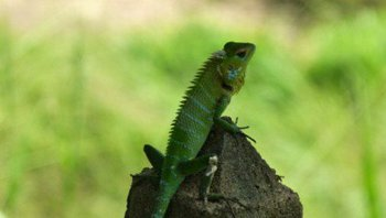 Common-Green-Forest-Lizard.jpg