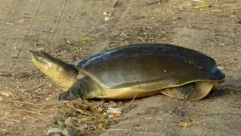 Indian-Flapshell-Turtle.jpg