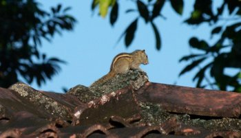 Indian-Palm-Squirrel.jpg
