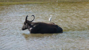 Indian-Water-Buffalo.jpg