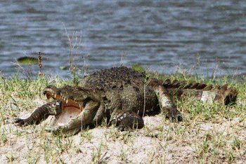 Mugger-or-Marsh-Crocodile.jpg