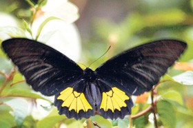 Sri-Lanka-Birdwing.jpg
