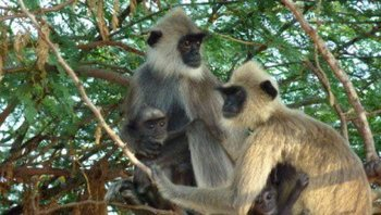 Tufted-Gray-Langur.jpg