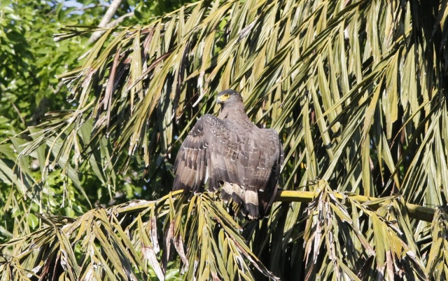 A Crested Serpent-eagle warmed up by the pond