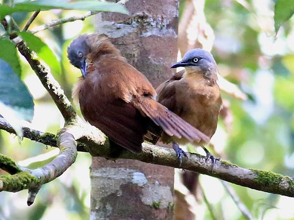 Ashy headed Laughingthrush