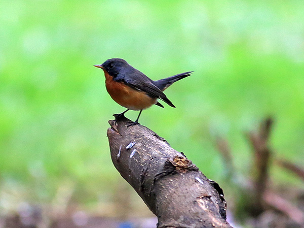 Indian Flycatcher