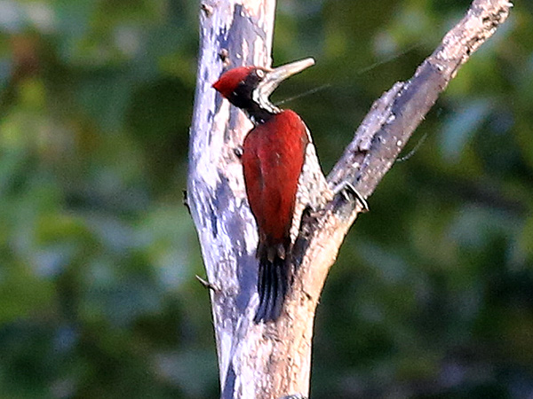 Sri Lanka Greater Flameback