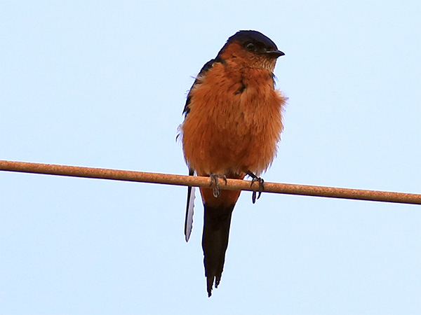 Sri Lanka Swallow