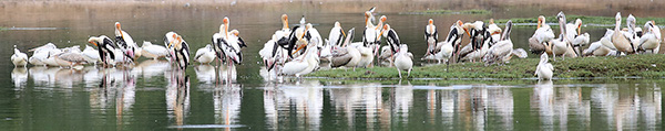 Black-necked Storks
