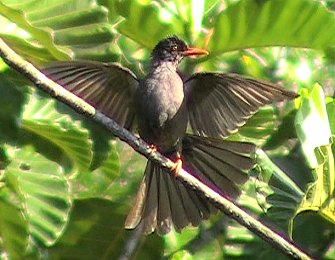 Square-tailed Bulbul