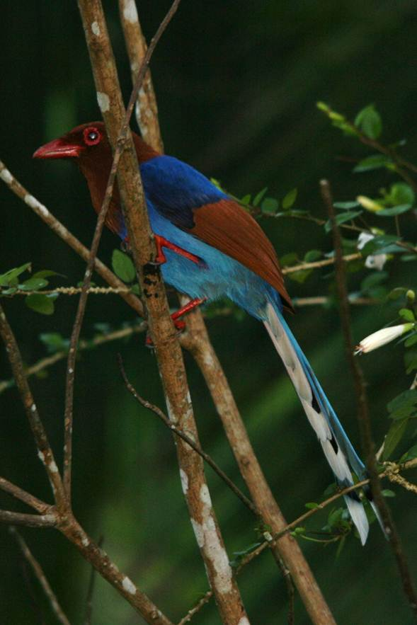 Description: Blue Magpie.jpg