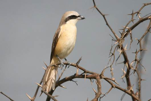 Description: Brown Shrike.jpg