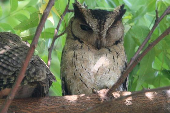Description: Collared Scops Owl.jpg