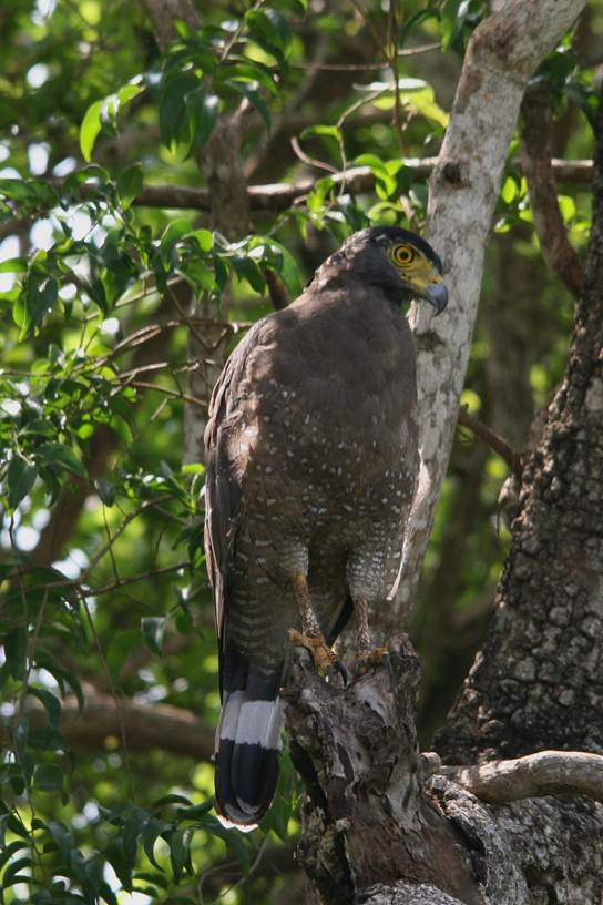 Description: Crested serpent Eagle.jpg