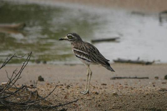 Description: Eurasian Thick-knee.jpg