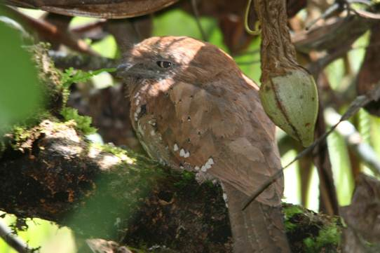 Description: Frogmouth.jpg