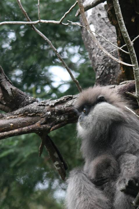Description: Purple faced Leaf Monkey.jpg