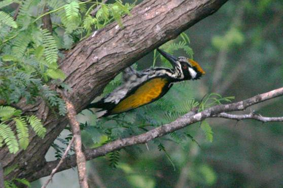 Description: White naped Woodpecker.jpg