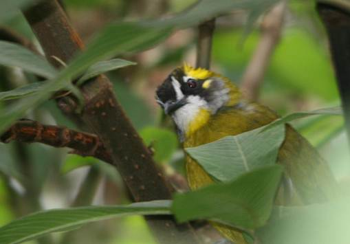 Description: Yellow eared Bulbul.jpg