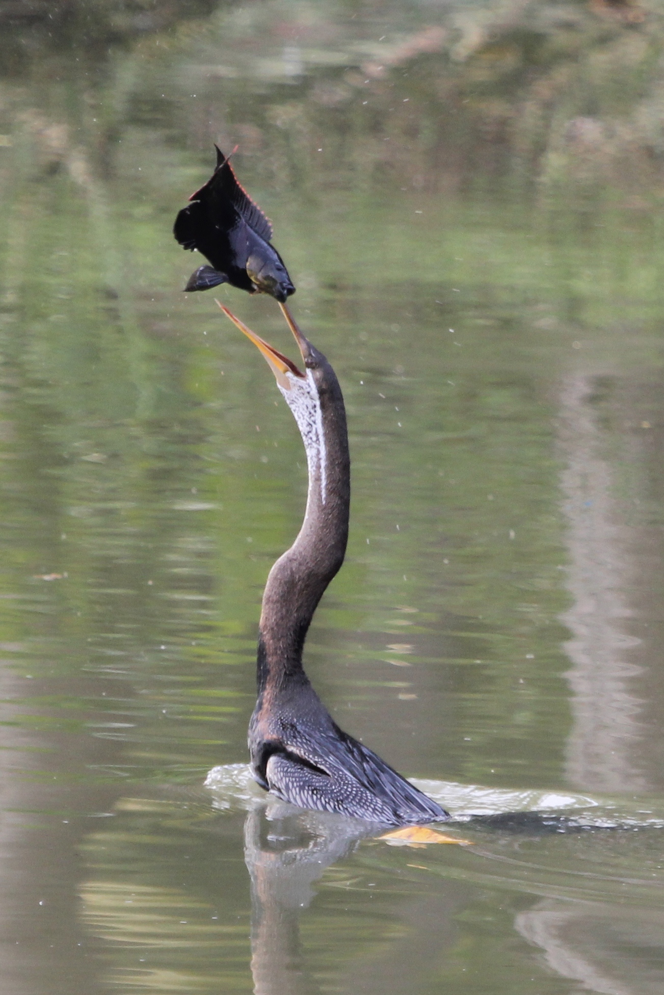 Indian Darter tossing a fish into its mouth