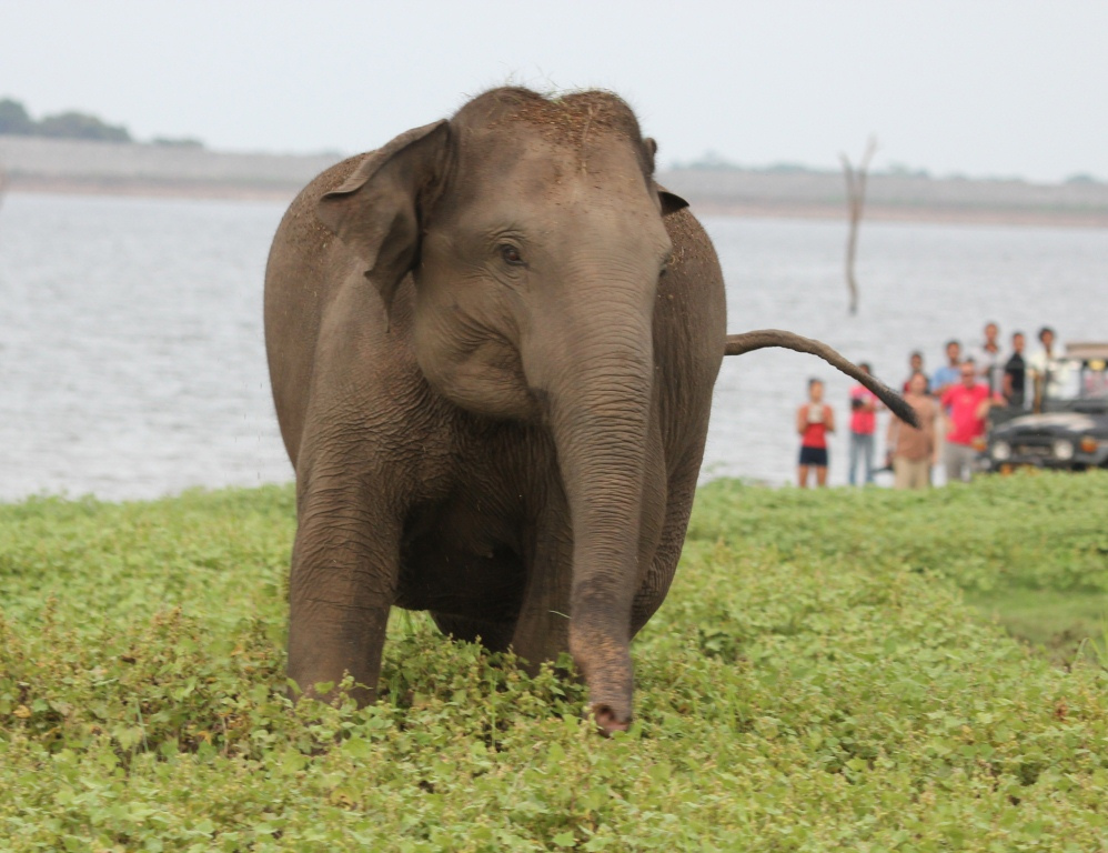 Elephant at Kaudulla National Park